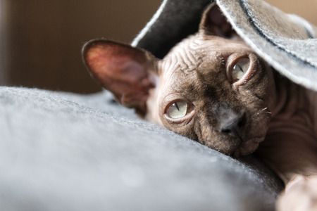 puss cats under a grey blanket, bald cat , Sphynx breed, pet