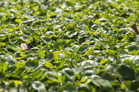 green clover, Reklamní fotografie - 122594258