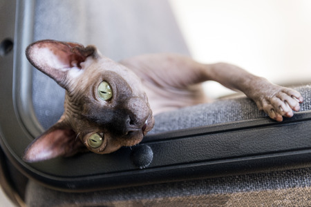 muzzle bald cat with green eyes a cat of breed the canadian Sphynx Reklamní fotografie - 122594275