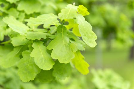oak branch with young green leaves, oak leaves on a green background, plant Reklamní fotografie
