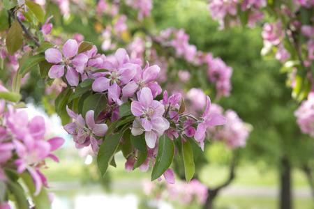 blooming Apple in the spring, rose petals , flowers Reklamní fotografie