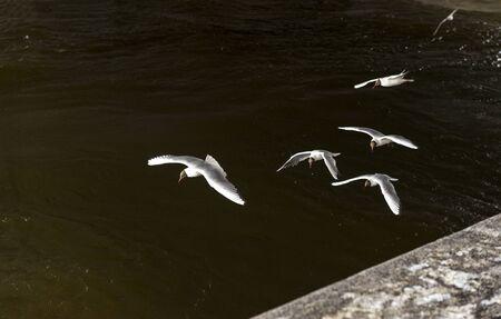 several gulls hunt over the water, birds fly , flock Reklamní fotografie