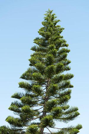 conifers, Araucaria tree, Chilean pine tree on the background of blue sky, Reklamní fotografie