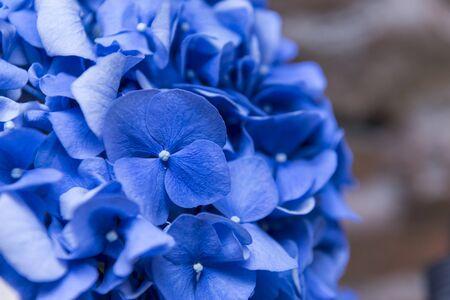 blue flower petals, branch with blue hydrangea flowers,