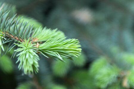 fir branch with green needles on a green background, plant Reklamní fotografie - 124697585