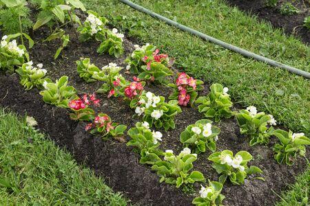 flowerbed with urban garden flowers, grass, hose for irrigation, gardening Reklamní fotografie