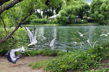 birds, many gulls on the pond, trees on the shore,
