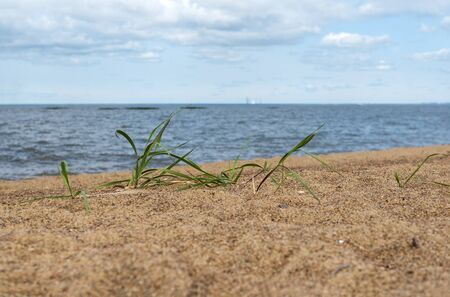 grass grows on the sand of the Gulf of Finland an Sunny day, the sky line, landscape Stok Fotoğraf
