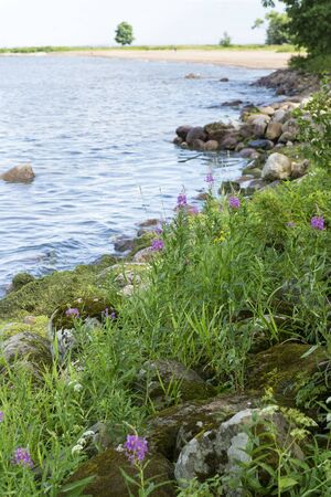pink flowers with green grass and stones, trees on the Gulf of Finland, North sea, Russia Stok Fotoğraf