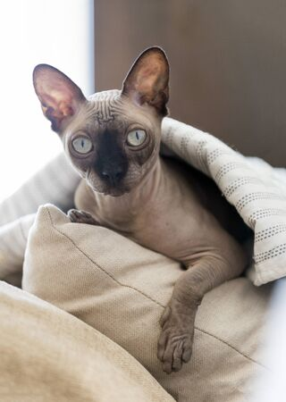 bald cat lying on pillows under a blanket , canadian Sphinx, pet