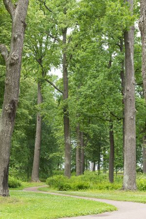path among the tall green trees in the forest in the summer, oaks, trunks , tree crowns