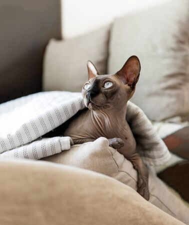 bald cat of breed the canadian Sphinx lies on pillows under a blanket,pet, Sphynx Zdjęcie Seryjne