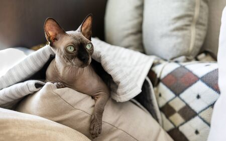 bald cat lying on a pillow under a blanket, cat resting, canadian Sphynx Zdjęcie Seryjne