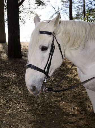 head of a white horse with a bridle among the trees, an animal in nature Standard-Bild