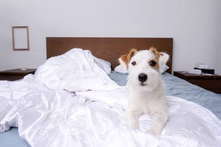 Jack Russell Terrier dog is lying on the bed on the white bed linen in the room
