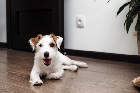 dog breed Jack Russell Terrier lying on the floor in the room, pet, dog with white hair