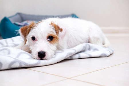 Jack Russell's puppy broken lies on a blanket on the floor 免版税图像 - 151125897