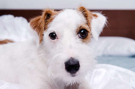 muzzle of a Jack Russell Terrier dog close up, eyes, puppy lying on the bed on white bed linen 免版税图像 - 151125898