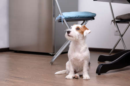 dog Jack Russell Terrier sits on the kitchen floor, pet 免版税图像 - 151125909