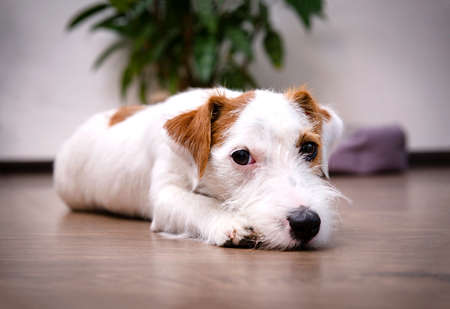 sad dog breed Jack Russell Terrier lying on the floor in the room against the background of a flower 免版税图像