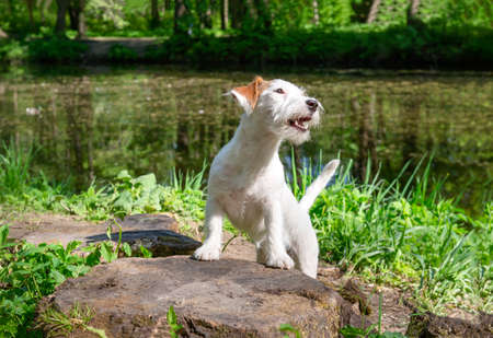 1 puppy dog breed Jack Russell stands in a clearing in the Park pond, on a Sunny day, pet,