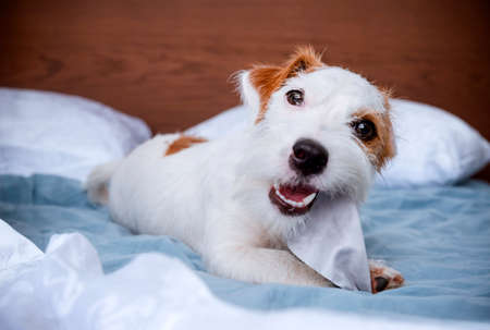 dogs breed Jack Russell Terrier lies on the bed on the white bed linen and chews a napkin, the puppy plays at home