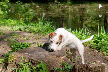 1 puppy in nature, white dog Jack Russell Terrier puppy in the Park on the shore of a pond,