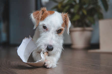 1 dog breed Jack Russell Terrier lies on the floor in the room and chews paper, playing