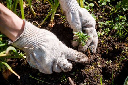 hands of a man in gloves plant a green sprout in the ground