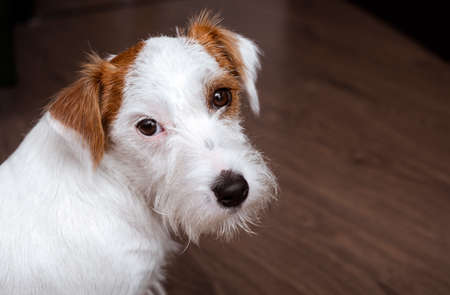 muzzle of a Jack Russell Terrier dog close up on a dark background