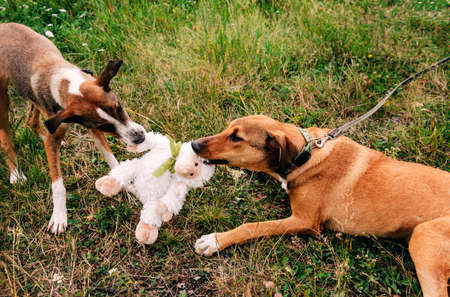 2 red dogs play with a toy on the grass in a clearing, Pets
