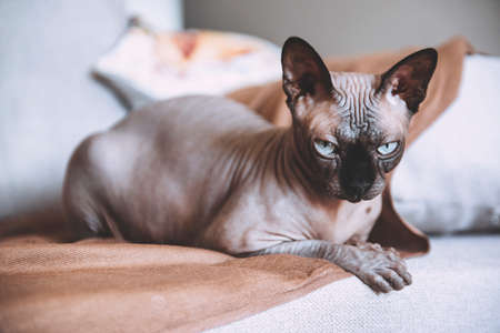 1 canadian Sphinx breed is lying on the sofa, cat
