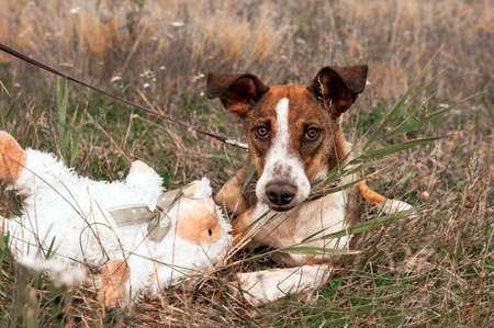 1 red and white dog lying on the grass in a meadow with a white toy, autumn 免版税图像