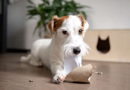 dog Jack Russell is lying on the floor in the room and chewing on paper 免版税图像