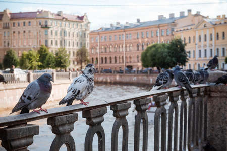 several pigeons sit on the embankment of the canal against the background of buildings in St. Petersburg, birds in the city