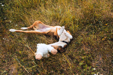 1 dog is lying on the grass in a clearing and playing with a toy