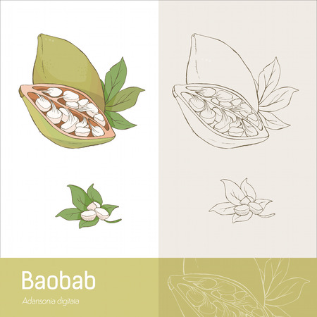 botanical remedy: Hand drawn baobab fruit with leaves and seeds botanical drawing Illustration