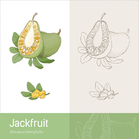 l nutrient: Jackfruit section fruit with leaves and seeds handmade botanical drawing