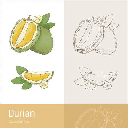 prickly fruit: Durian fruit with section leaves and flower botanical drawing