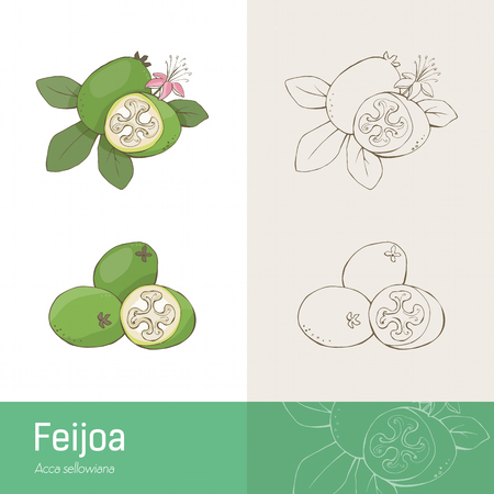 botanical remedy: Feijoa fruit with leaves and flower handmade botanical drawing
