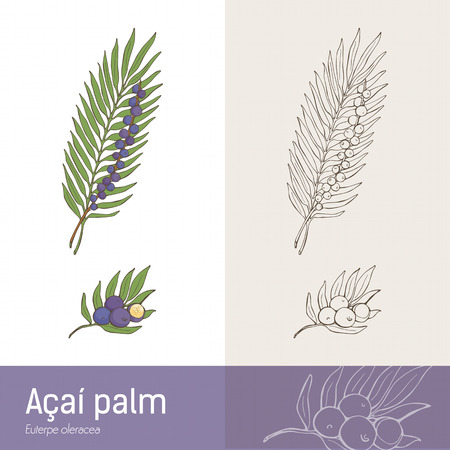 botanical remedy: Acilm palm leaf and berry fruit botanical drawing Illustration