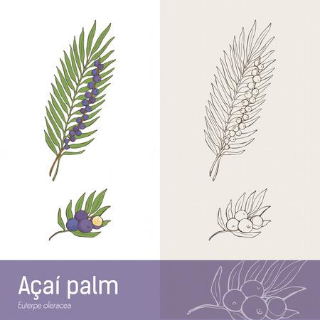 Acilm palm leaf and berry fruit botanical drawing Illustration