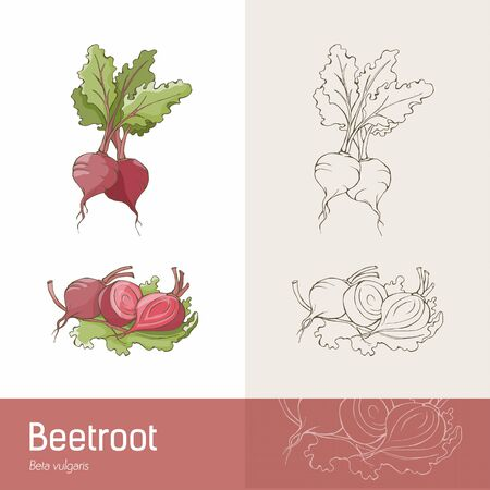 beet root: Hand drawn botanical sketch of beetroots, roots and leaves Illustration