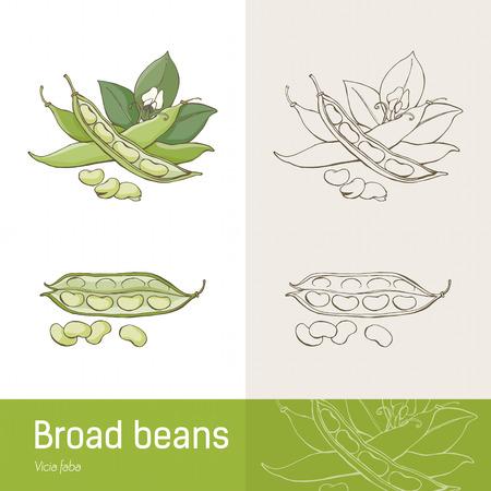 leguminosas: Frijoles o habas Amplio mano dibujo botánico dibujado
