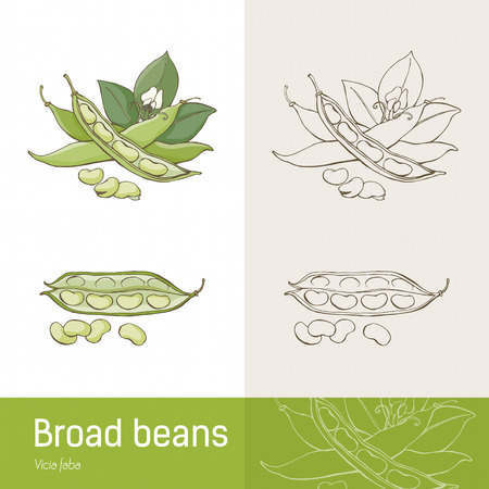 Broad beans or fava beans hand drawn botanical drawing