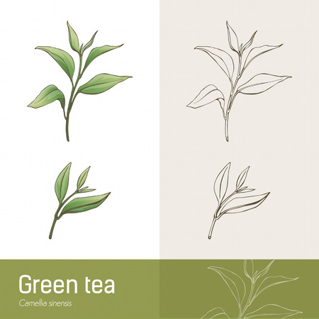 green tea leaves: Cammelia sinensis plant botanical drawing, green tea production
