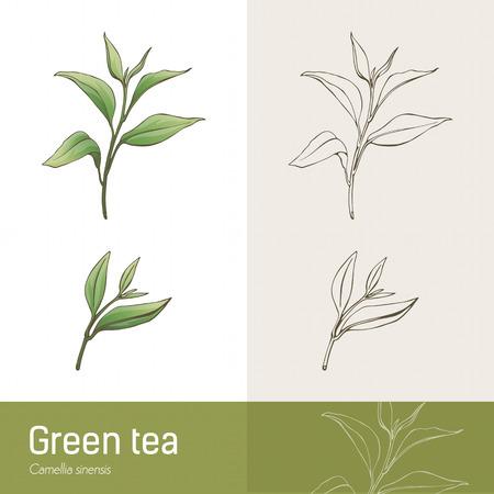 Cammelia sinensis plant botanical drawing, green tea production