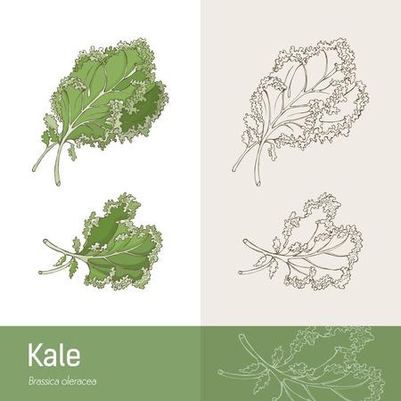 kale: Kale cabbage botanical hand drawing, healthy eating concept Illustration