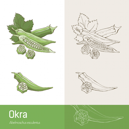 okra: Okra pods and leaves botanical hand drawing