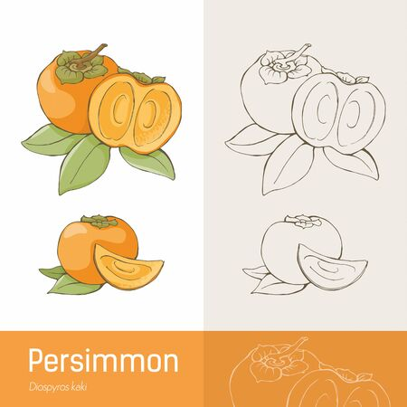 persimmon: Caqui fruta sabrosa y deja dibujo botánico